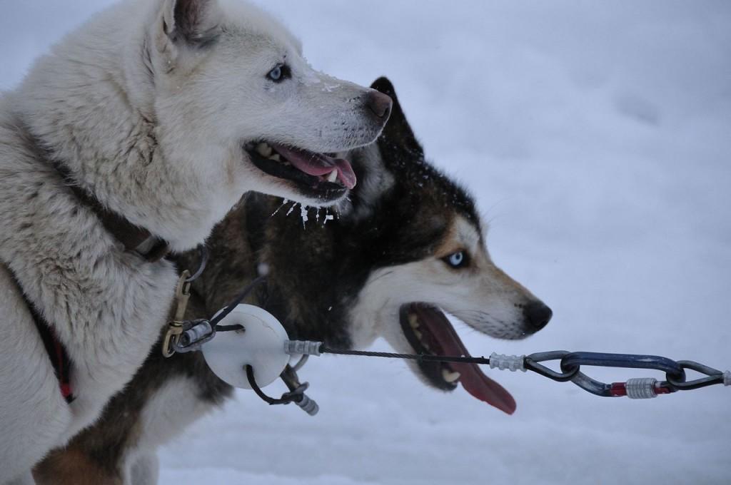 chiens traineau